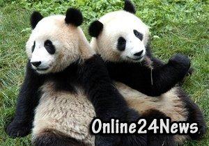 китай даль бельгии 2 панды