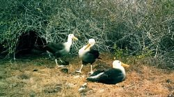 С учётом этого в начале 1973 года в рамках международного проекта по спасению этого вида от вымирания было принято решение о переселении оставшихся гигантских черепах на более компактный остров Эспаньола
