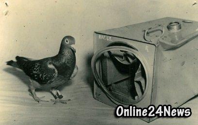 голубь-разведчик